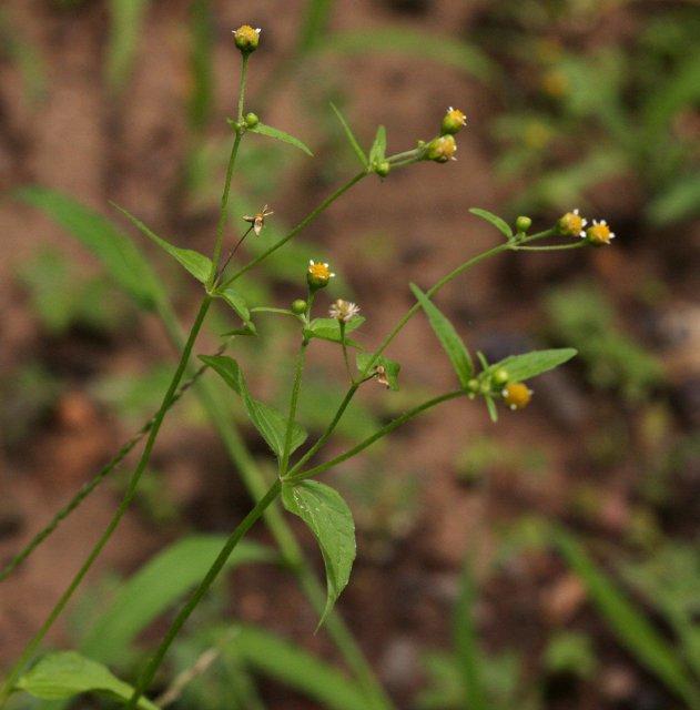 http://www.zimbabweflora.co.zw/speciesdata/images/16/160710-4.jpg