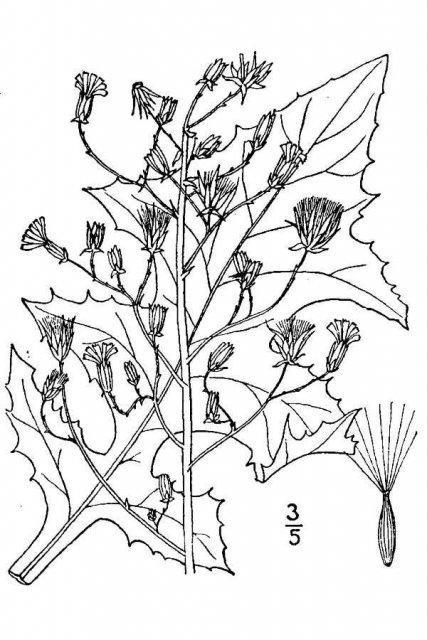 http://plants.usda.gov/java/largeImage?imageID=lasp4_001_avd.tif