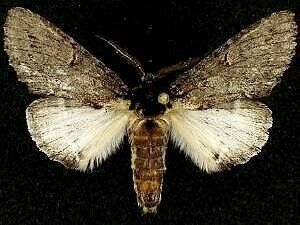 http://mothphotographersgroup.msstate.edu/species.php?hodges=7993