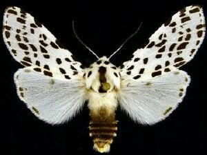 http://mothphotographersgroup.msstate.edu/species.php?hodges=8144