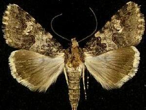 http://mothphotographersgroup.msstate.edu/species.php?hodges=8623