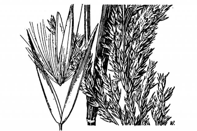 http://plants.usda.gov/java/largeImage?imageID=casc2_001_ahd.tif