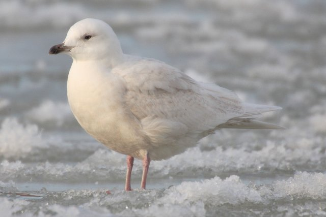 http://commons.wikimedia.org/wiki/File:Larus-glaucoides-002.jpg