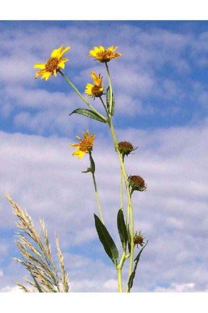 http://plants.usda.gov/java/largeImage?imageID=henun_001_avp.jpg