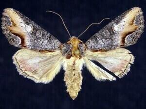 http://mothphotographersgroup.msstate.edu/species.php?hodges=10269