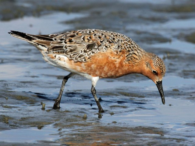 http://commons.wikimedia.org/wiki/File:Red_Knot_2012e_RWD.jpg