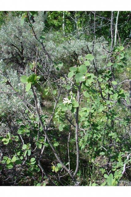 http://plants.usda.gov/gallery/large/amut_006_lvp.jpg