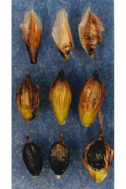 http://plants.usda.gov/gallery/large/caru3_003_lvp.jpg