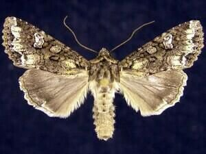 http://mothphotographersgroup.msstate.edu/species.php?hodges=10271