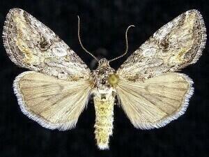 http://mothphotographersgroup.msstate.edu/species.php?hodges=10221
