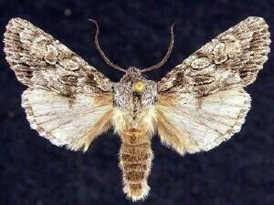 http://mothphotographersgroup.msstate.edu/species.php?hodges=10506