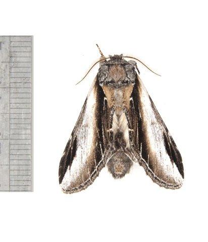 http://animaldiversity.ummz.umich.edu/collections/contributors/phil_myers/lepidoptera/Notodontidae/Pheosia2841/