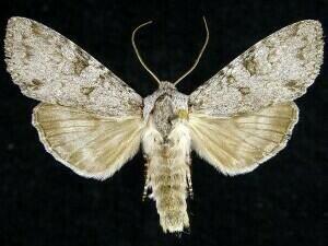 http://mothphotographersgroup.msstate.edu/species.php?hodges=10274