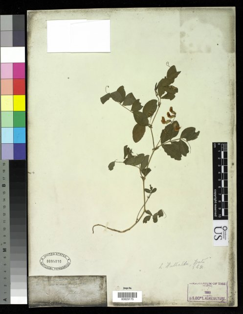 http://collections.mnh.si.edu/search/botany/?irn=2875664