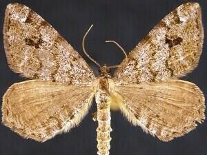 http://mothphotographersgroup.msstate.edu/species.php?hodges=6349