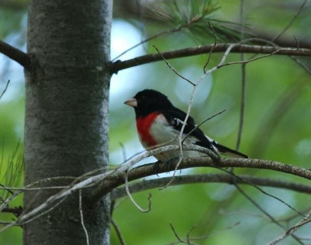 http://animaldiversity.ummz.umich.edu/site/resources/phil_myers/ADW_birds_3_4_03/rb grosbeak0670.jpg/medium.jpg