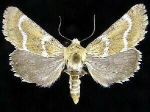 http://mothphotographersgroup.msstate.edu/species.php?hodges=11157