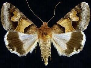 http://mothphotographersgroup.msstate.edu/species.php?hodges=8628