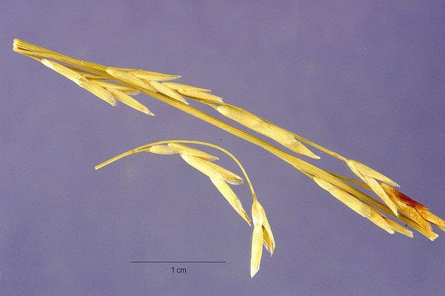 http://plants.usda.gov/gallery/large/glfl2_003_lhp.jpg