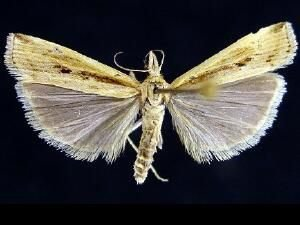 http://mothphotographersgroup.msstate.edu/species.php?hodges=5453