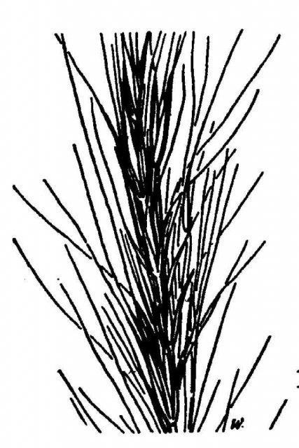 http://plants.usda.gov/java/largeImage?imageID=siha7_001_avd.tif