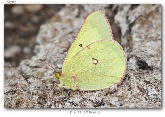http://butterfliesofamerica.com/images/Pieridae/Coliadinae/colias_gigantea_harroweri/Colias_gigantea_harroweri_M_USA_MONTANA_Beaverhead_Co._Red_Rock_Lakes_NWR_13-VII-2011_BOUTON.jpg