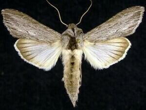 http://mothphotographersgroup.msstate.edu/species.php?hodges=10190