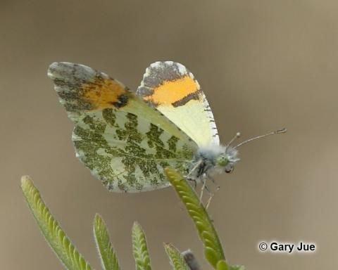 http://www.butterfliesandmoths.org/gallery