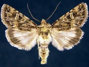 http://mothphotographersgroup.msstate.edu/species.php?hodges=10093.4