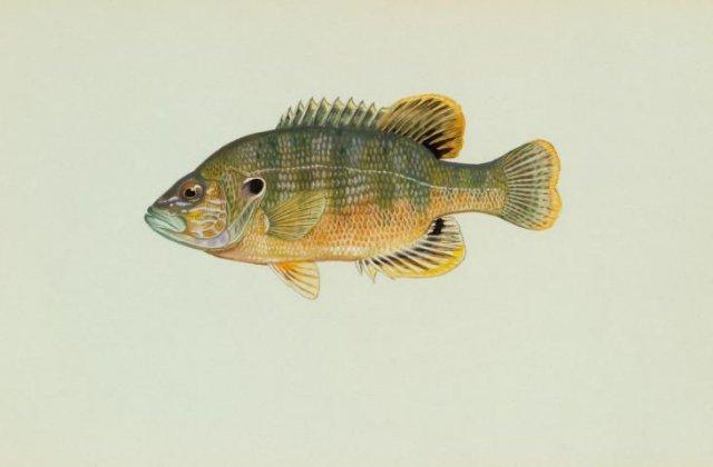 http://animaldiversity.ummz.umich.edu/site/resources/usfws/greensunfish.jpg/medium.jpg