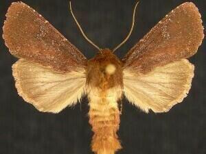 http://mothphotographersgroup.msstate.edu/species.php?hodges=10268