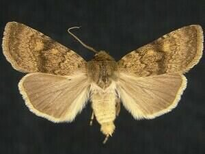 http://mothphotographersgroup.msstate.edu/species.php?hodges=10794