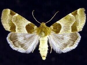 http://mothphotographersgroup.msstate.edu/species.php?hodges=11151