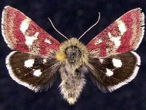 http://mothphotographersgroup.msstate.edu/species.php?hodges=11062