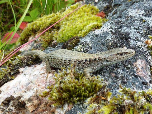 Photo of Northern Alligator Lizard