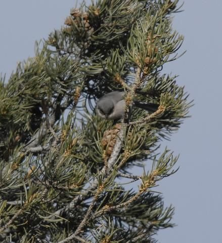 http://animaldiversity.ummz.umich.edu/site/resources/phil_myers/ADW_birds_3_4_03/bushtit1730.jpg/medium.jpg