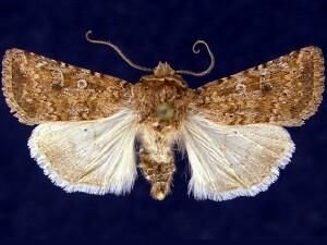 http://mothphotographersgroup.msstate.edu/species.php?hodges=10847