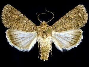 http://mothphotographersgroup.msstate.edu/species.php?hodges=10559