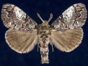 http://mothphotographersgroup.msstate.edu/species.php?hodges=8294
