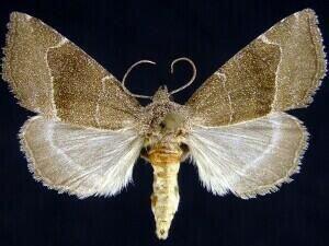 http://mothphotographersgroup.msstate.edu/species.php?hodges=9748