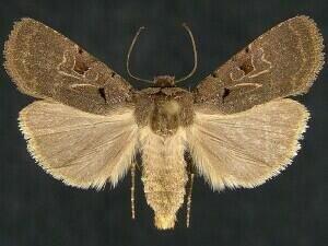 http://mothphotographersgroup.msstate.edu/species.php?hodges=11003