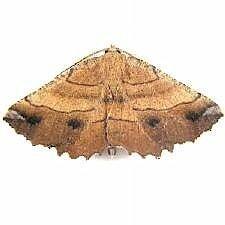 http://mothphotographersgroup.msstate.edu/species.php?hodges=6729