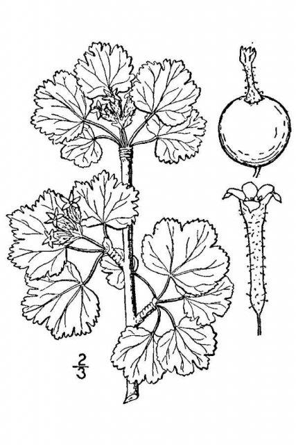 http://plants.usda.gov/java/largeImage?imageID=riin3_001_avd.tif