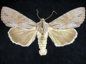 http://mothphotographersgroup.msstate.edu/species.php?hodges=9338