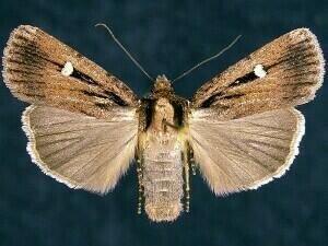 http://mothphotographersgroup.msstate.edu/species.php?hodges=11021