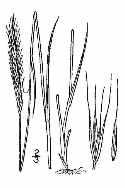 http://plants.usda.gov/java/largeImage?imageID=elma9_001_avd.tif