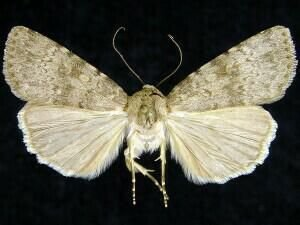 http://mothphotographersgroup.msstate.edu/species.php?hodges=11049