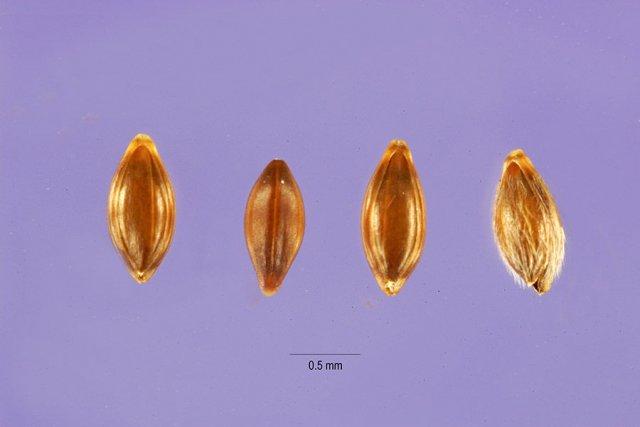 http://plants.usda.gov/gallery/large/ormi2_003_lhp.jpg