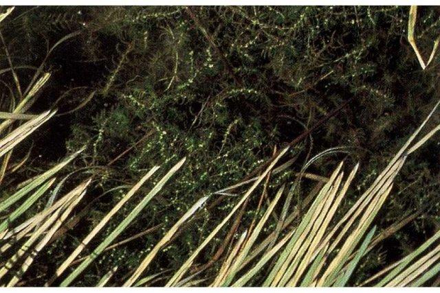 http://plants.usda.gov/java/largeImage?imageID=cahe2_001_ahp.tif