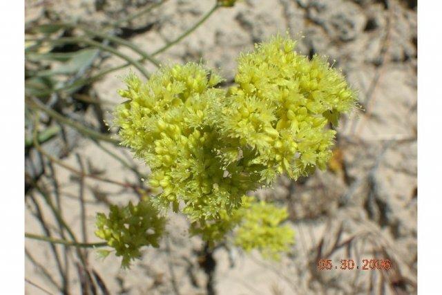 http://plants.usda.gov/java/largeImage?imageID=erocc_001_ahp.jpg